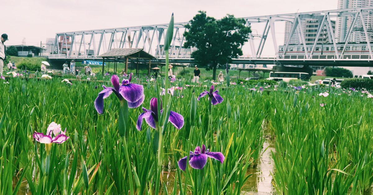 江戸川河川敷の小岩菖蒲園
