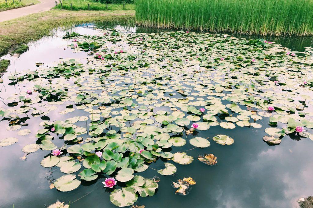 菖蒲の合間には蓮の池が