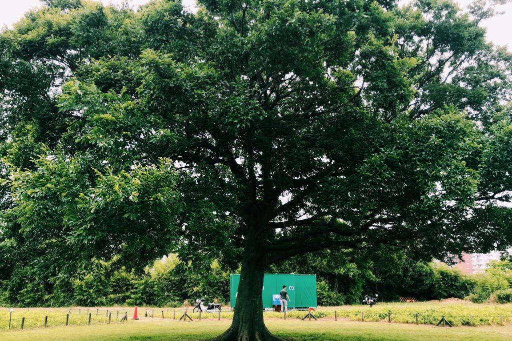 小岩菖蒲園の「この木なんの木」